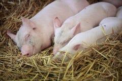 Três porcos pequenos Imagens de Stock Royalty Free