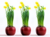 Três potenciômetros vermelhos com os narcisos amarelos amarelos flourishing Fotografia de Stock Royalty Free