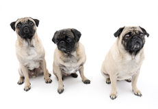 Três Pugs isolados Fotos de Stock