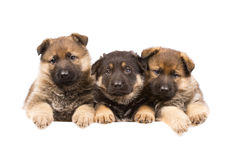 Três puppys alemães dos sheepdogs Imagem de Stock