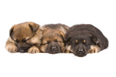 Três puppys do sono Fotografia de Stock Royalty Free