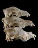 Três raças (Foxterrier, Doberman e St Bernard) perseguem a evolução dos crânios na pirâmide da pilha isolada Imagem de Stock