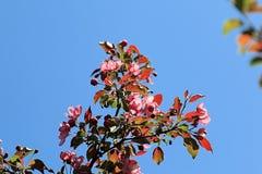 Três ramos de árvore da maçã da cor fotos de stock