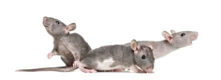 Três ratos calvos novos, isolados foto de stock royalty free