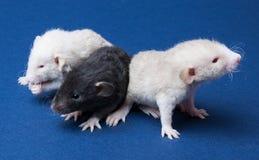 Três ratos pequenos Imagem de Stock Royalty Free