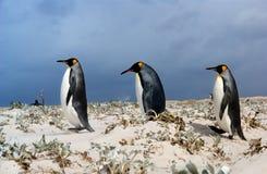 Três rei pinguins Foto de Stock Royalty Free