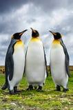 Três rei pinguins Imagens de Stock