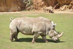 Três rinocerontes Foto de Stock Royalty Free