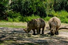 Três rinocerontes Fotografia de Stock Royalty Free