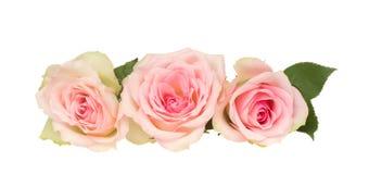 Três rosas cor-de-rosa fotografia de stock royalty free