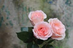 Três rosas cor-de-rosa Foto de Stock