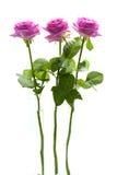 Três rosas cor-de-rosa eretas imagem de stock