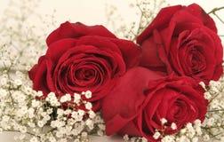 Três rosas vermelhas bonitas fotografia de stock royalty free
