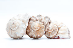 Três seashells Imagem de Stock Royalty Free