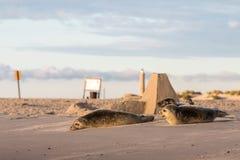 Três selos de porto, vitulina do Phoca, descansando na praia Amanhecer em Grenen, Dinamarca imagem de stock