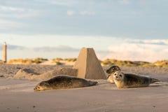 Três selos de porto, vitulina do Phoca, descansando na praia Amanhecer em Grenen, Dinamarca fotografia de stock royalty free