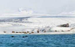 Três selos que nadam por um grupo de patos de êider no iceberg de flutuação na base de uma geleira Fotografia de Stock