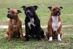 Três Staffordshire Foto de Stock