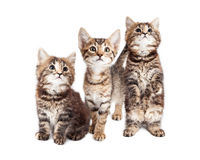 Três Tabby Kittens Together curiosa no branco Imagens de Stock