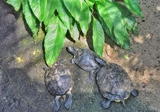 Três tartarugas foto de stock royalty free