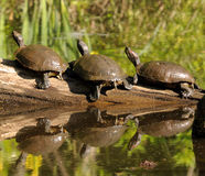 Três tartarugas em um registro imagens de stock