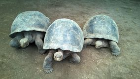 Três tartarugas gigantes Fotos de Stock