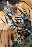 Três tigres pequenos Foto de Stock