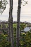 Três troncos de árvore Imagem de Stock