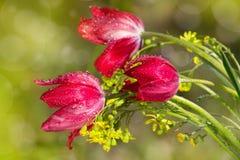 Três tulipas Imagens de Stock Royalty Free