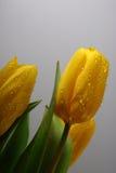 Três tulipas amarelas da mola fotografia de stock