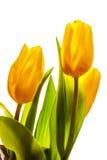 Três tulipas amarelas da mola imagens de stock