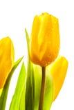 Três tulipas amarelas da mola fotos de stock royalty free