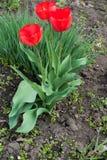 Três tulipas de florescência com pétalas vermelhas Fotografia de Stock