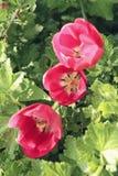 Três tulipas de florescência vermelhas no fim do bedflower acima Foto de Stock
