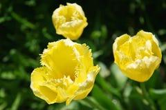 Três tulipas encaracolado amarelas no campo da mola Fotografia de Stock Royalty Free