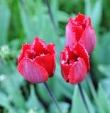 Três tulipas no gramado Foto de Stock
