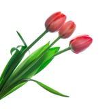 Três tulipas vermelhas Fotos de Stock