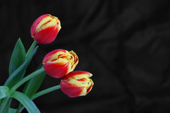 Três tulipes no fundo preto Foto de Stock Royalty Free