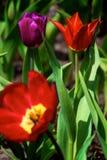 Três tulips Fotos de Stock Royalty Free