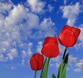 Três Tulips vermelhos Fotos de Stock