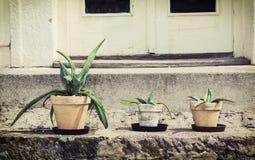 Três várias plantas suculentos em uns potenciômetros de flor Foto de Stock Royalty Free