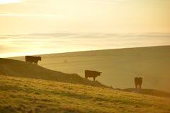 Três vacas Imagens de Stock