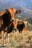 Três vacas atrás de se Fotos de Stock Royalty Free