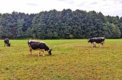 Três vacas bonitos em um prado no Polônia foto de stock