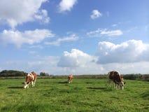 Três vacas de pastagem Fotos de Stock Royalty Free