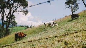 Três vacas de pastagem imagem de stock royalty free