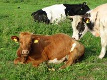 Três vacas em um prado Fotos de Stock