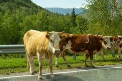 Três vacas marrons em uma caminhada estão em uma estrada cinzenta do asfalto com a fotos de stock