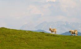 Três vacas na montanha. Imagem de Stock Royalty Free