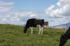 Três vacas que comem a grama nos prados imagens de stock royalty free
